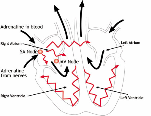 How the heart functions figure 1 how the heart functions electrically ccuart Choice Image